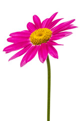 Flower of pyrethrum, isolated on white background