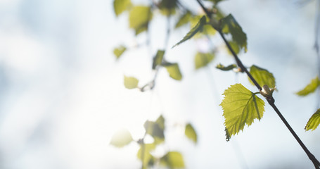 first birch leaves in spring day, wide photo