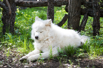 Samoiedskaia Sabaka. A white sled dog lies in the courtyard of a country house.
