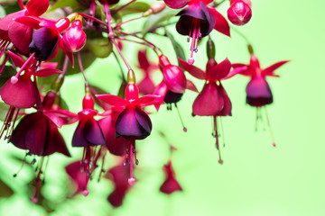 blooming hanging twig in shades of dark red fuchsia on green background, Huets Kwarts, close up