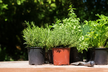 f282f00001f Potted kitchen herbs such as rosemary, thyme, parsley, sage, oregano ...