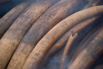 Ivory stacked ready to burn in the world's largest-ever ivory burn, Kenya 2016