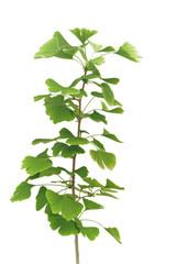 Junger Ginkgobaum