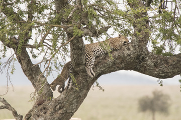 Leopard Mom and Cub in Tree, Serengeti