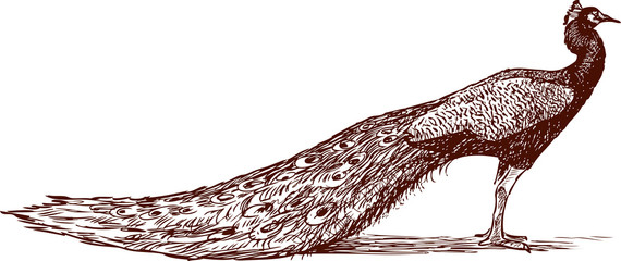 sketch of a peacock