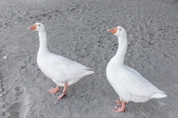 Two beautiful stout goose are walking along the sand