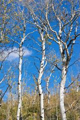 Leaves Falling off White Barked Tree Forest