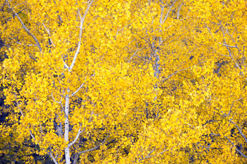 White Aspen Trees Forest Fall Colors Leaves Changing Autumn