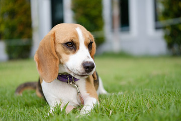 Beagle puppy sitting on green grass, Thailand