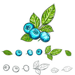 Hand drawn vector illustration set of color and monochrome blueberry, leaf. sketch. Vector eps 8