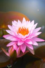 Garden Poster Lotus flower Lotus flowers blooming on the pond in summer