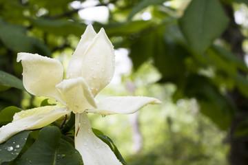 Magnolia in North Carolina