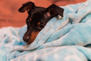 毛布から顔を出す寝起きの犬。黒いミニチュアピンシャー