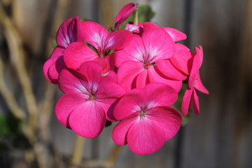 A Cluster of Pink Geraniums