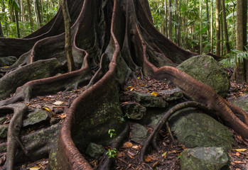 ancient fig tree roots and buttresses