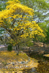 Yellow India tree with Yellow flowers
