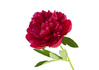 Red peony isolated on a white background