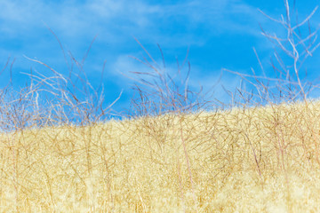 Golden grass and blue sky