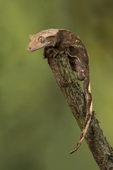 A close up portrait of an alert gecko perched precariously on the top of a branch in upright vertical format