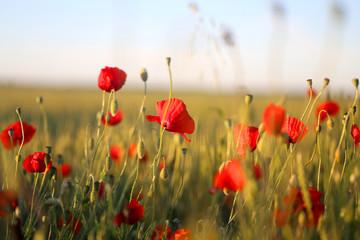 Photo of beautiful poppy fields