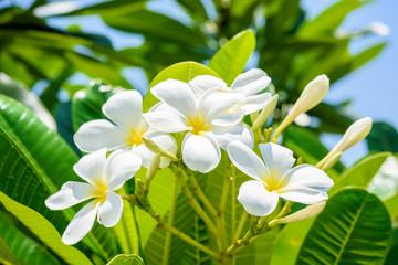 White plumeria on the plumeria tree.
