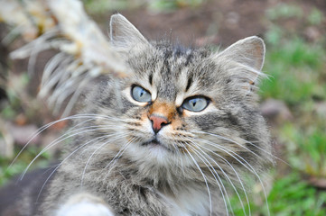 Hungry Norwegian cat eats fish's bones. Cat eating fish remains from older man hands