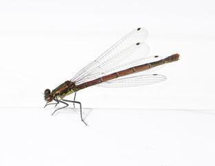 Damson Fly on White Background