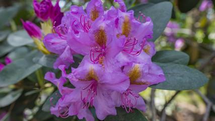 Blooming beautiful Purple rhododendrons in the garden. Macro.