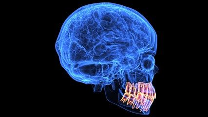 3d illustration human body brain and skeleton anatomy parts