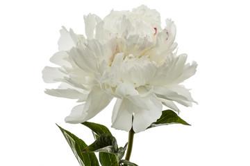 White flower of peony, lat. Paeonia, isolated on white background