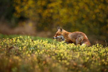 Red Fox in meadow