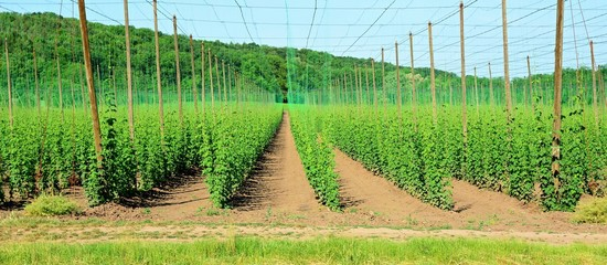 View of the growing young hops in a hop garden in Czech Central Mountains.