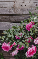 Pink roses on a rustic wooden planks