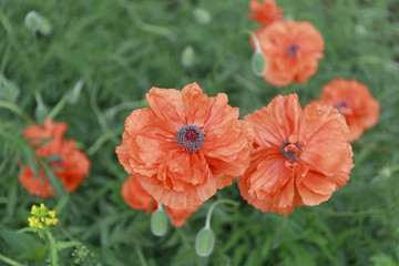 red flowers poppy.