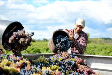 handsome young man winemaker in his vineyard during wine harvest emptying a grape bucket in tractor trailer