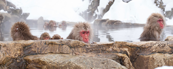 Japanese macaque or snow monkeys bathing in hot springs 地獄谷の日本猿