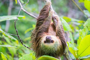 Wild two-toed sloth hanging on tree in Colon Island, Bocas del Toro, Panama.