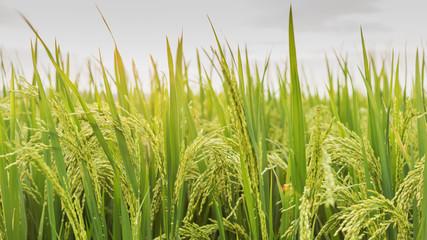 Close-up rice paddy, Jasmine rice farm plantation