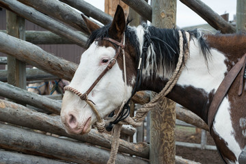 Paint horse saddled up and tied to wooden corral post for trail ride
