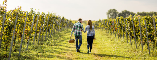 Young couple harvesting grapes in a vineyard