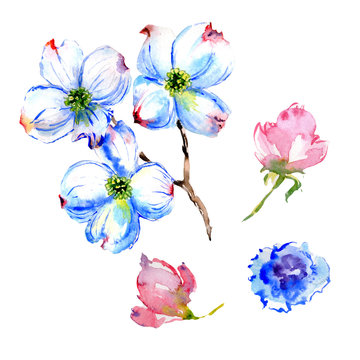 Wildflower dogwood flower in a watercolor style isolated.