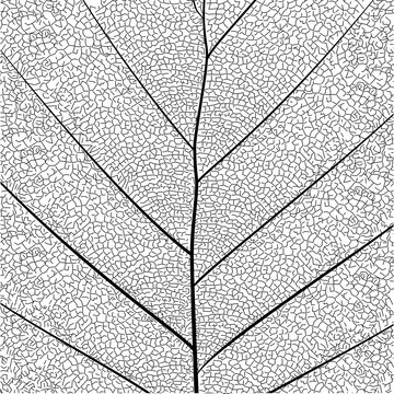 Botanical series Elegant detailed Single leaf  structure in sketch style black and white on white background