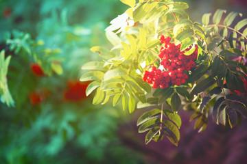 Ripe Rowan Berries