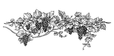 Grapevine ink sketch Wall mural
