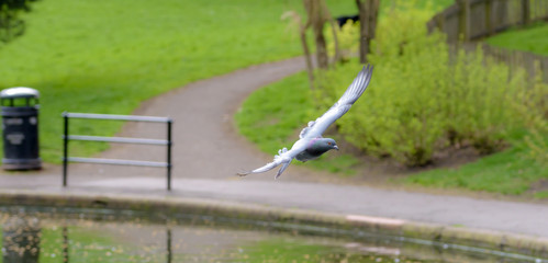 Landing Pigeon in the Park E