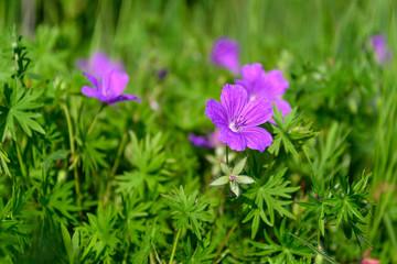 Flowers a wild geranium