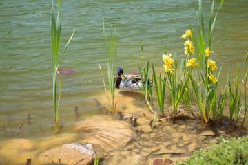 Bright sunlight shining on male drake duck nestled on rock