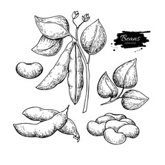 White Bean plant hand drawn vector illustration. Isolated Vegetable engraved style object.