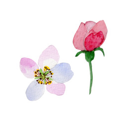 Wildflower Malus flower in a watercolor style isolated.
