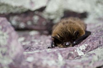 Furry brown bat sleeping on a sunny rock